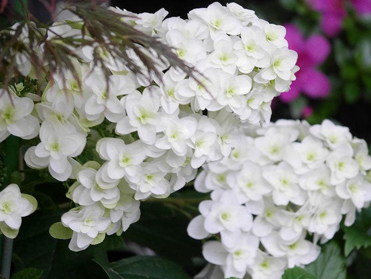 カシワバアジサイの花が綺麗に咲いた。2020年-002.jpg