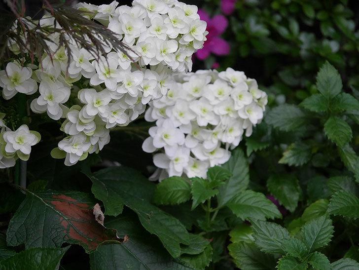 カシワバアジサイの花が綺麗に咲いた。2020年-003.jpg
