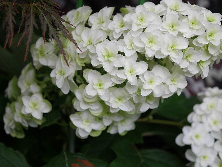 カシワバアジサイの花が綺麗に咲いた。2020年-004.jpg