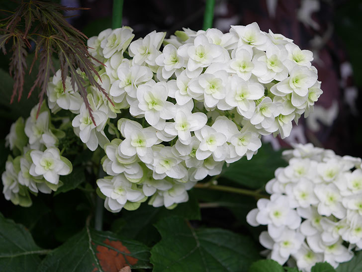 カシワバアジサイの花が綺麗に咲いた。2020年-005.jpg