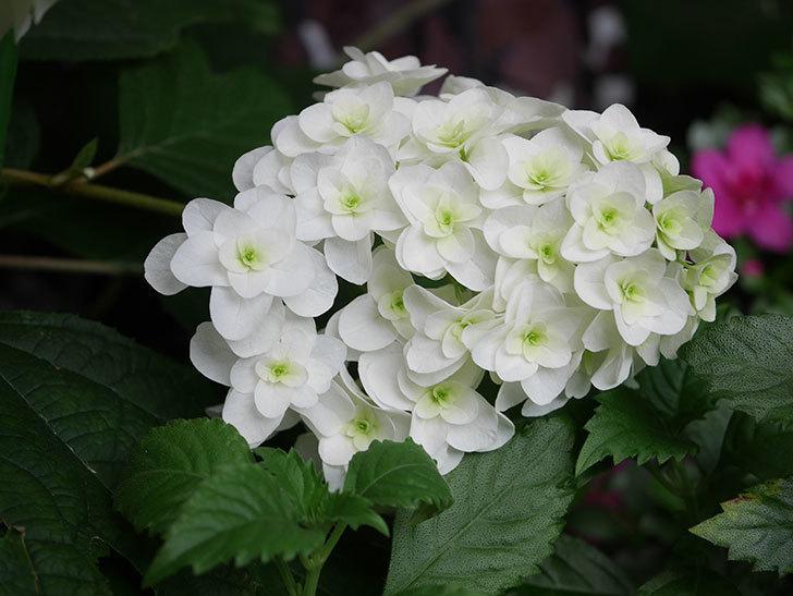 カシワバアジサイの花が綺麗に咲いた。2020年-006.jpg