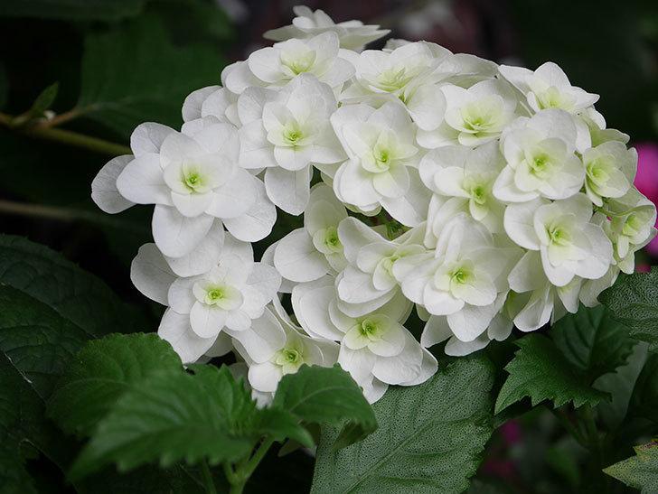 カシワバアジサイの花が綺麗に咲いた。2020年-007.jpg