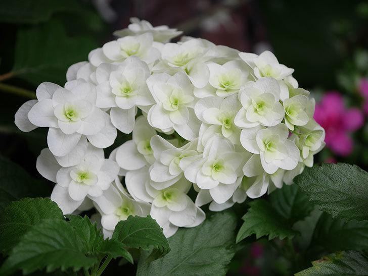 カシワバアジサイの花が綺麗に咲いた。2020年-008.jpg