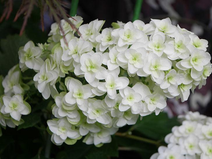 カシワバアジサイの花が綺麗に咲いた。2020年-010.jpg