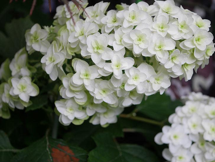 カシワバアジサイの花が綺麗に咲いた。2020年-011.jpg