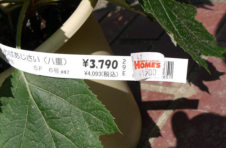 カシワバアジサイ(八重)がホームズで1,500円だったので買って来た5.jpg