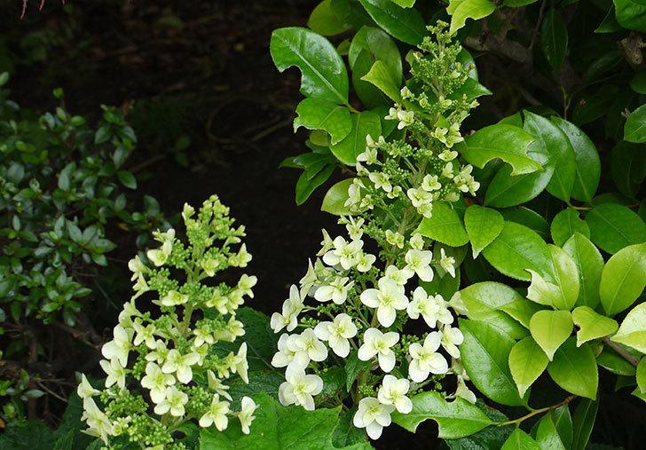 カシワバアジサイ(八重)が咲き始めた。2015年-1.jpg