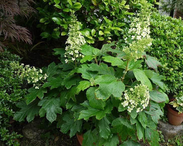 カシワバアジサイ(八重)が咲き始めた。2015年-2.jpg