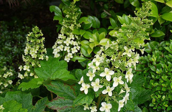 カシワバアジサイ(八重)が咲き始めた。2015年-3.jpg