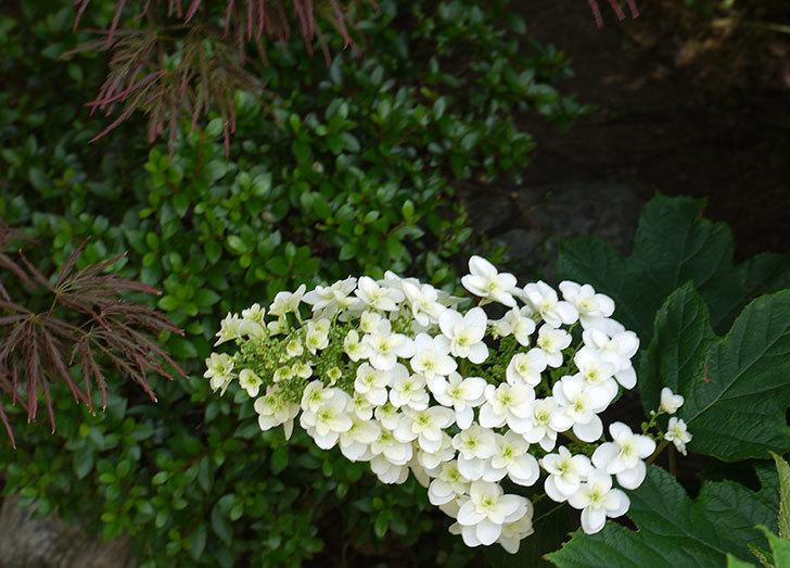 カシワバアジサイ(八重)の花が綺麗に咲いた。2015年-4.jpg