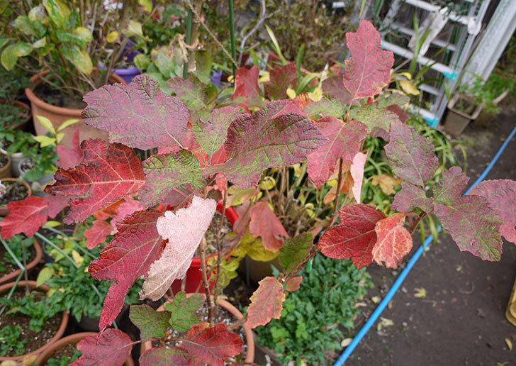 カシワバアジサイ(八重)の葉が紅葉して赤くなった。2015年-1.jpg