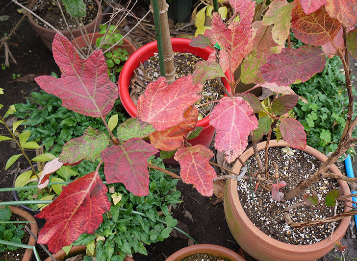 カシワバアジサイ(八重)の葉が紅葉して赤くなった。2015年-3.jpg