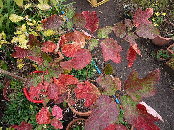 カシワバアジサイ(八重)の葉が紅葉して赤くなった。2015年-5.jpg