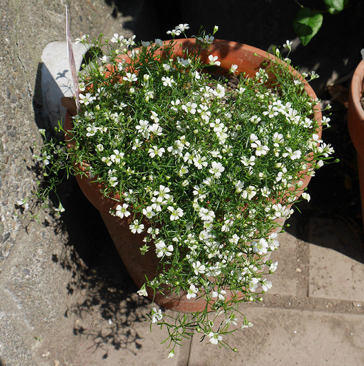 カスミソウ-プレミアム-ジプシー-ホワイト&ローズの花が咲いた。2019年-1.jpg