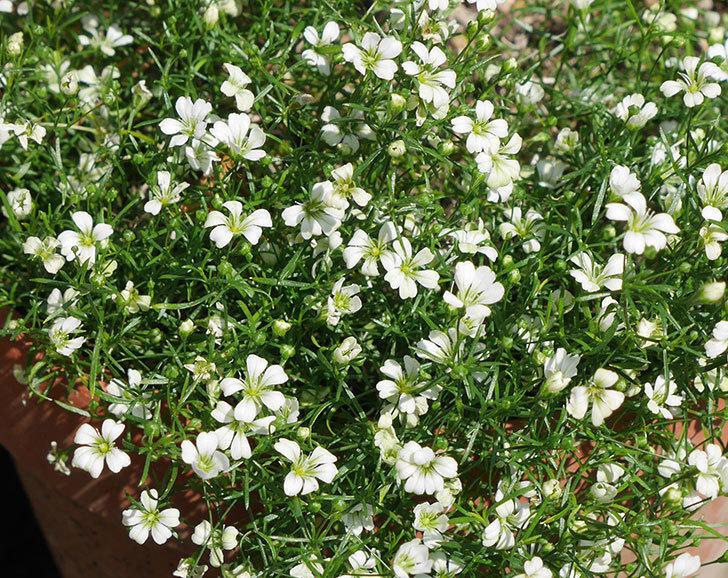 カスミソウ-プレミアム-ジプシー-ホワイト&ローズの花が咲いた。2019年-2.jpg