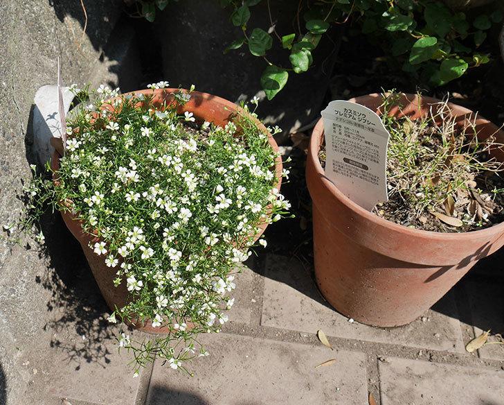 カスミソウ-プレミアム-ジプシー-ホワイト&ローズの花が咲いた。2019年-3.jpg