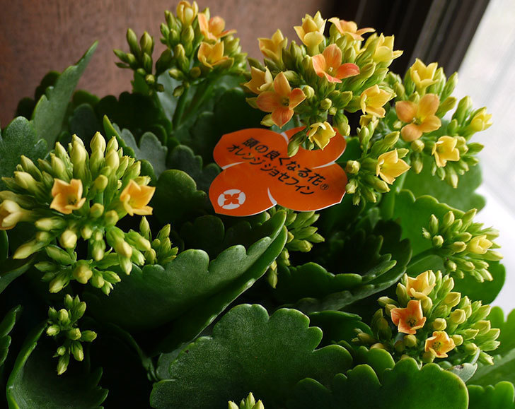 カランコエ-オレンジジョセフィンを買って来た。2016年-3.jpg