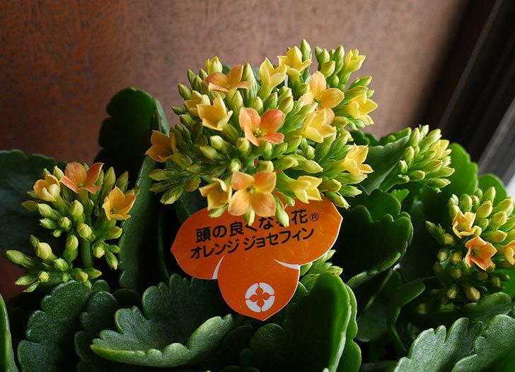 カランコエ-オレンジジョセフィンを買って来た。2016年-5.jpg