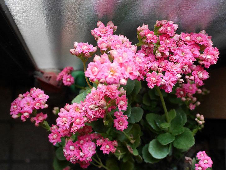 カランコエ-ロザリナの花が咲いた。2019年-1.jpg