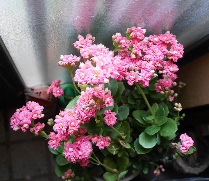 カランコエ-ロザリナの花が咲いた。2019年-3.jpg