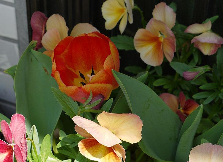 カラーミスティック(チューリップ)が咲いた1.jpg
