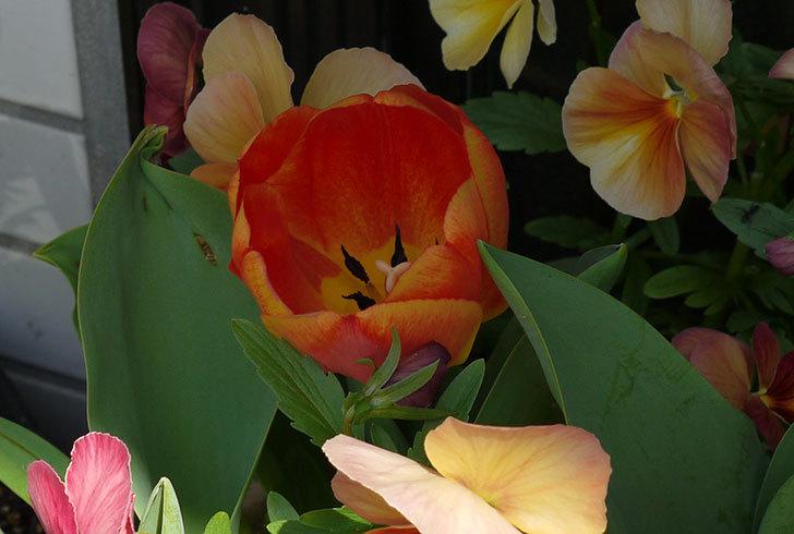 カラーミスティック(チューリップ)が咲いた3.jpg