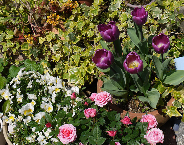 カラーミスティック(チューリップ)が咲いた5.jpg