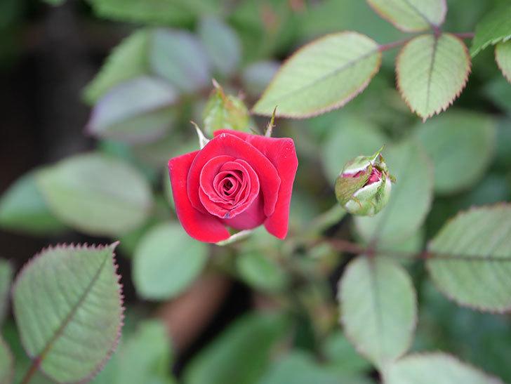 カリエンテ(Caliente)の2番花がまた咲いた。ミニバラ。2020年-001.jpg