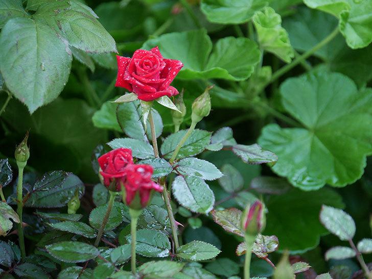 カリエンテ(Caliente)の2番花がまた咲いた。ミニバラ。2020年-005.jpg