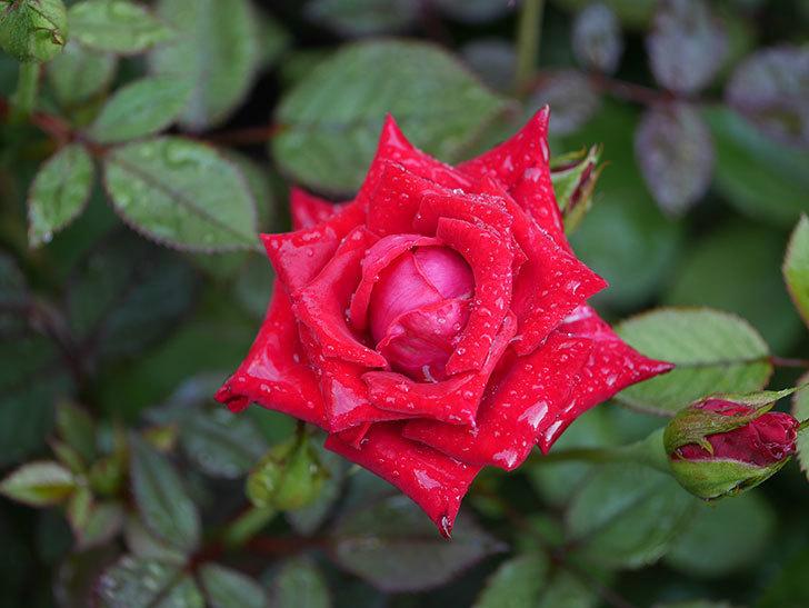 カリエンテ(Caliente)の2番花がまた咲いた。ミニバラ。2020年-008.jpg