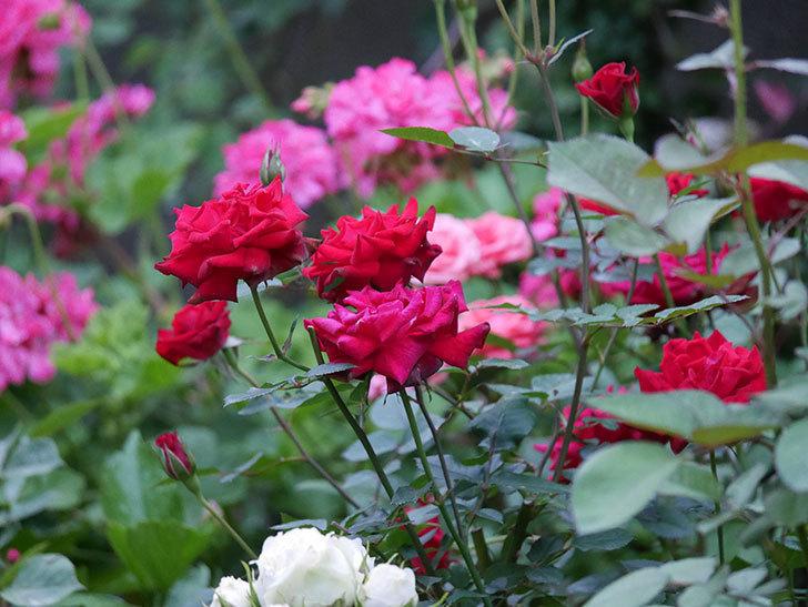 カリエンテ(Caliente)の2番花が咲いた。ミニバラ。2020年-001.jpg