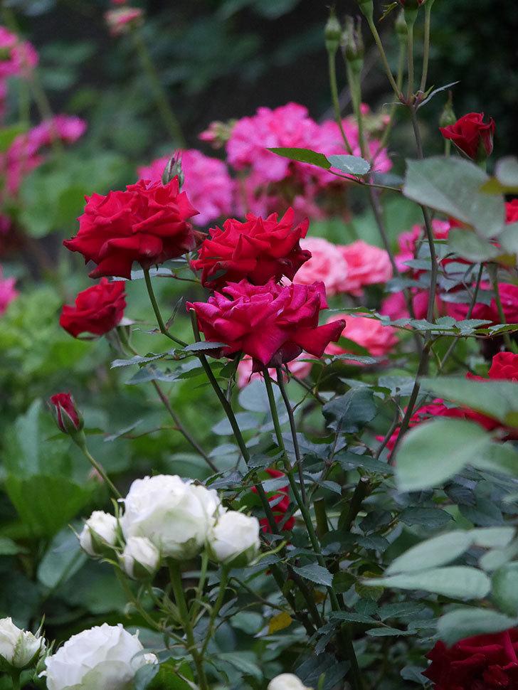 カリエンテ(Caliente)の2番花が咲いた。ミニバラ。2020年-002.jpg