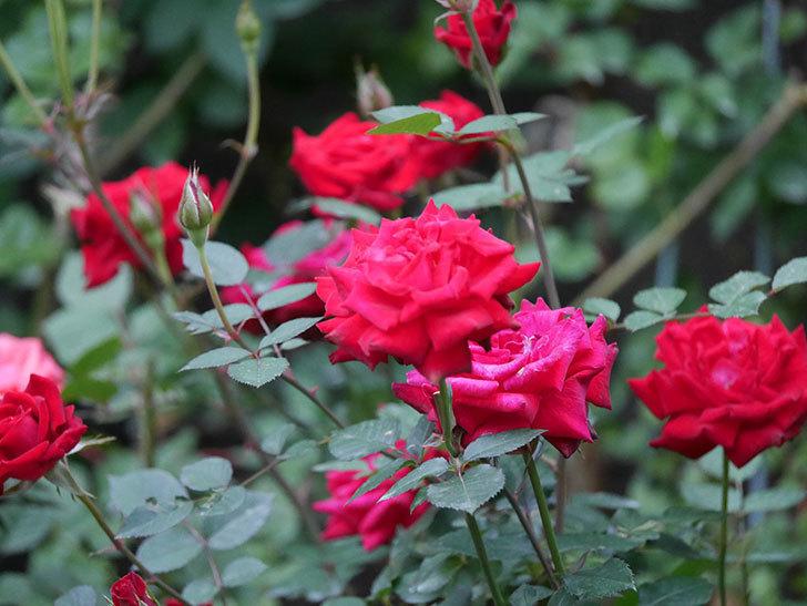 カリエンテ(Caliente)の2番花が咲いた。ミニバラ。2020年-003.jpg