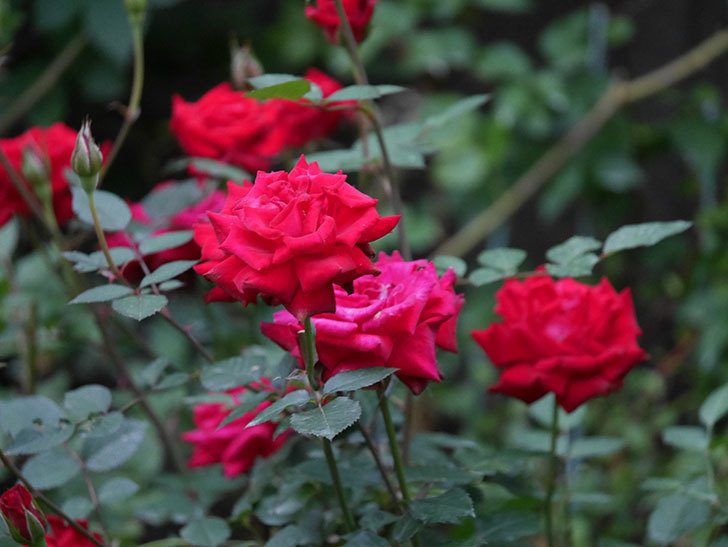 カリエンテ(Caliente)の2番花が咲いた。ミニバラ。2020年-004.jpg