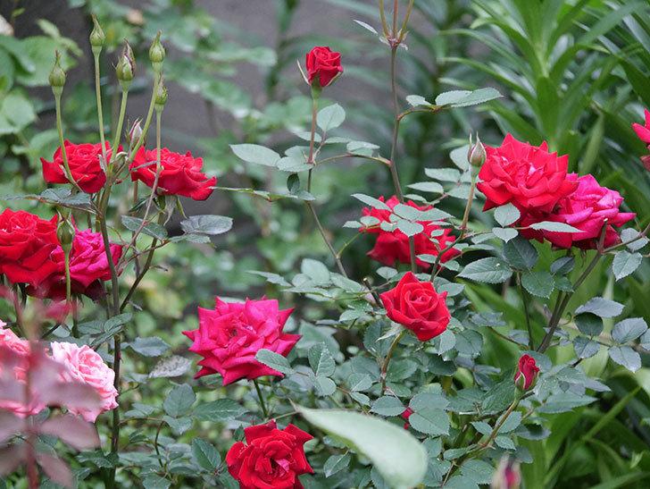 カリエンテ(Caliente)の2番花が咲いた。ミニバラ。2020年-005.jpg