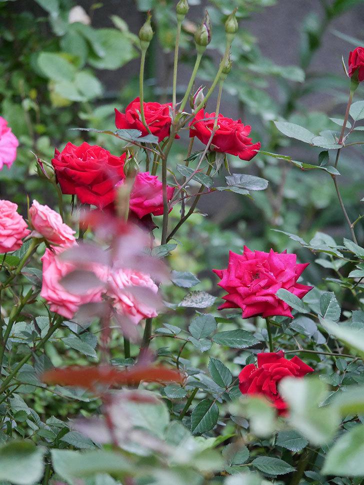 カリエンテ(Caliente)の2番花が咲いた。ミニバラ。2020年-007.jpg