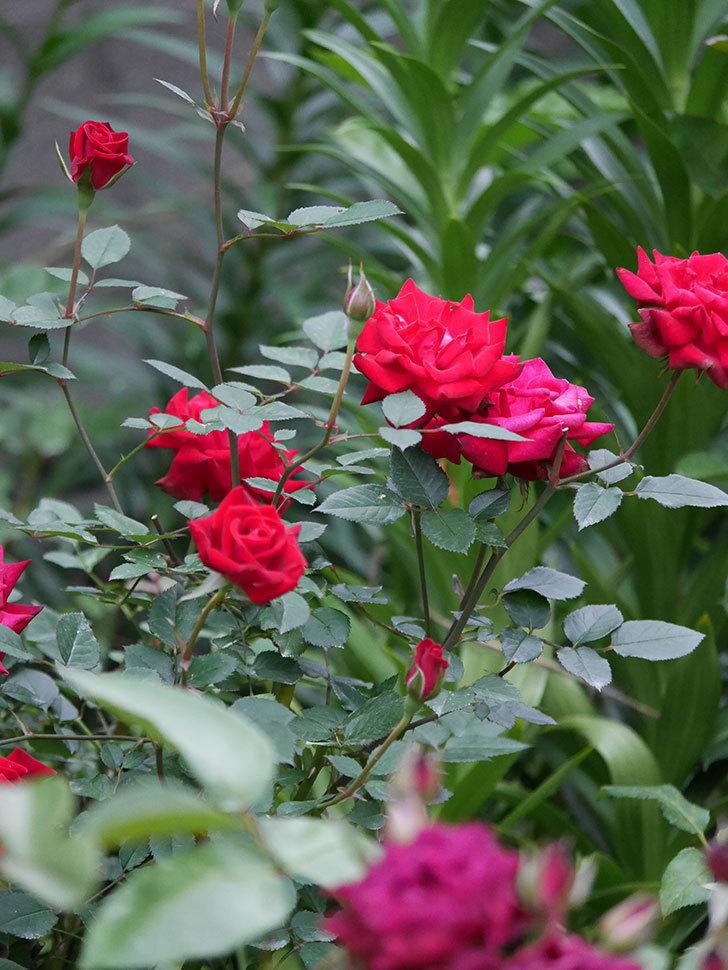 カリエンテ(Caliente)の2番花が咲いた。ミニバラ。2020年-008.jpg