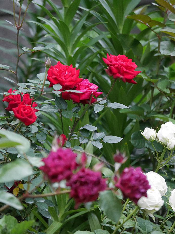 カリエンテ(Caliente)の2番花が咲いた。ミニバラ。2020年-009.jpg