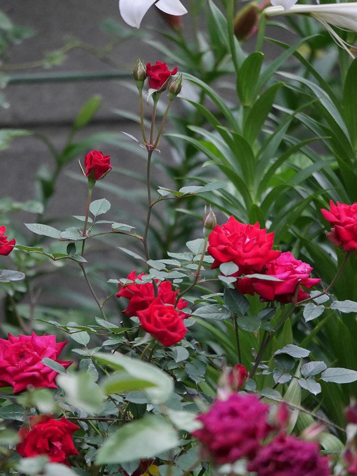 カリエンテ(Caliente)の2番花が咲いた。ミニバラ。2020年-010.jpg