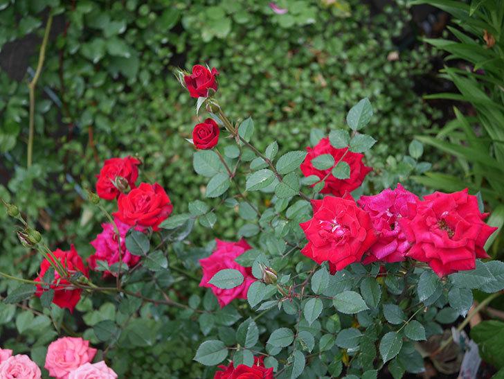 カリエンテ(Caliente)の2番花が咲いた。ミニバラ。2020年-012.jpg