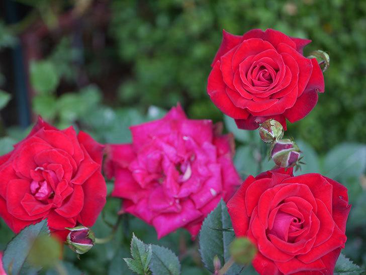 カリエンテ(Caliente)の2番花が咲いた。ミニバラ。2020年-016.jpg