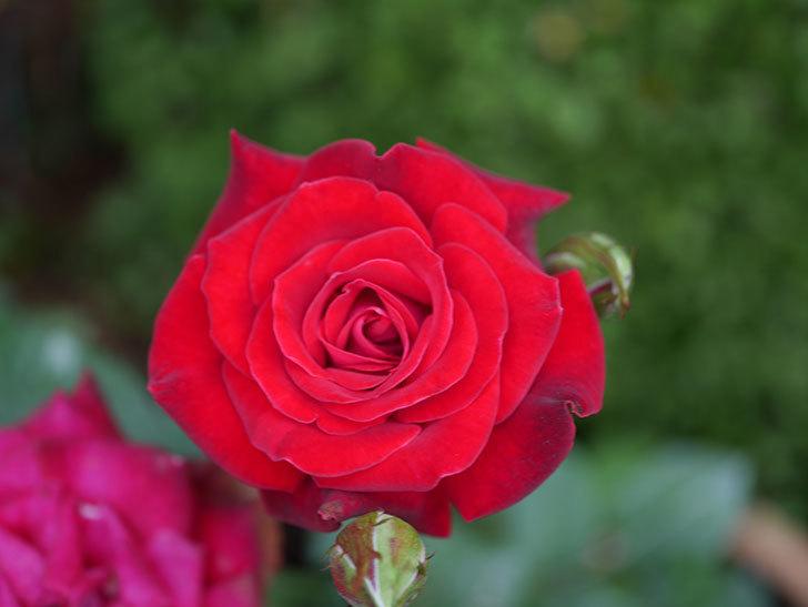 カリエンテ(Caliente)の2番花が咲いた。ミニバラ。2020年-017.jpg