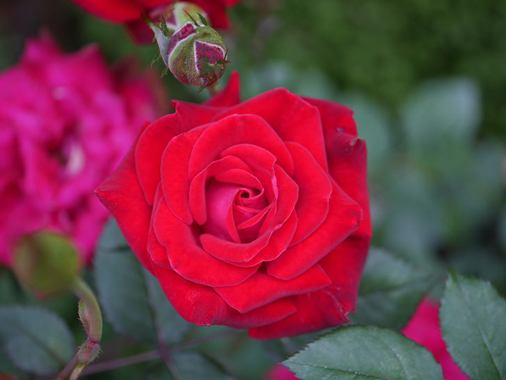 カリエンテ(Caliente)の2番花が咲いた。ミニバラ。2020年-018.jpg
