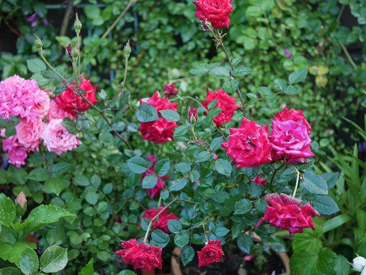 カリエンテ(Caliente)の2番花が咲いた。ミニバラ。2020年-019.jpg