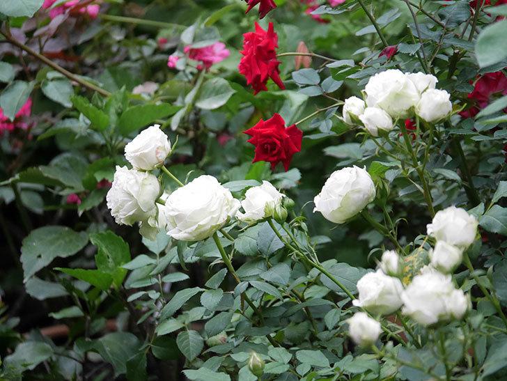 カリエンテ(Caliente)の2番花が咲いた。ミニバラ。2020年-020.jpg