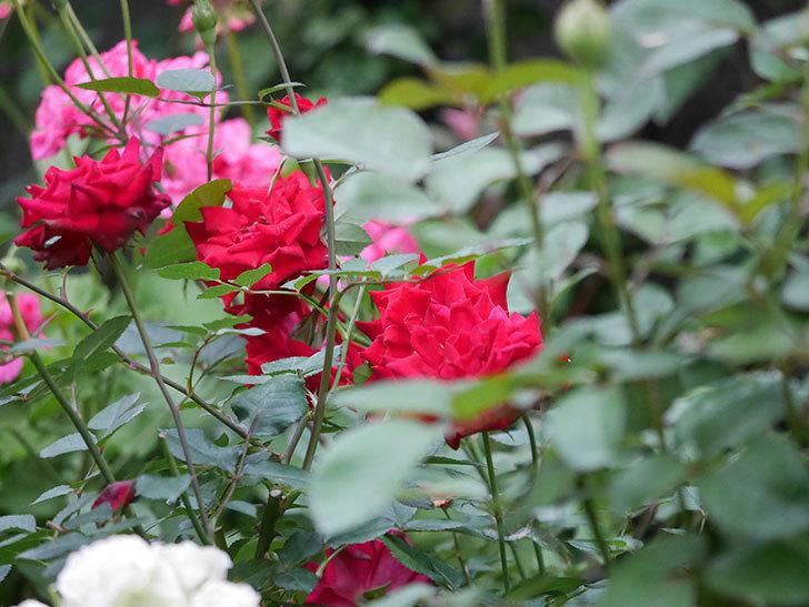 カリエンテ(Caliente)の2番花が咲いた。ミニバラ。2020年-022.jpg