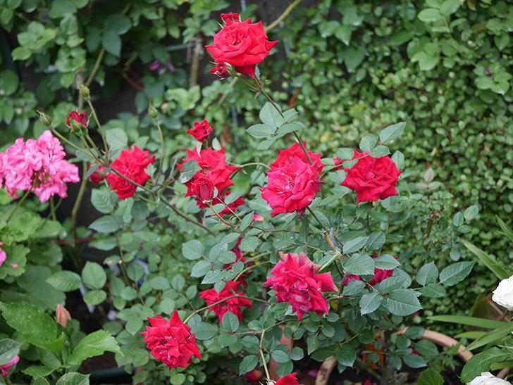カリエンテ(Caliente)の2番花が咲いた。ミニバラ。2020年-025.jpg