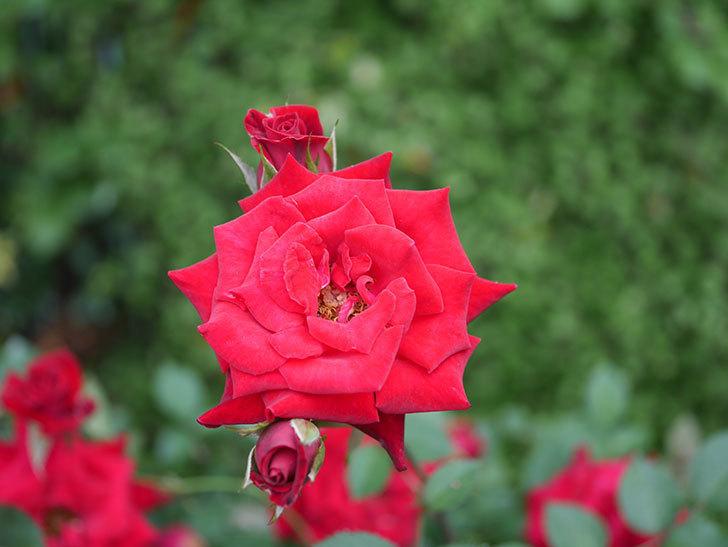 カリエンテ(Caliente)の2番花が咲いた。ミニバラ。2020年-026.jpg