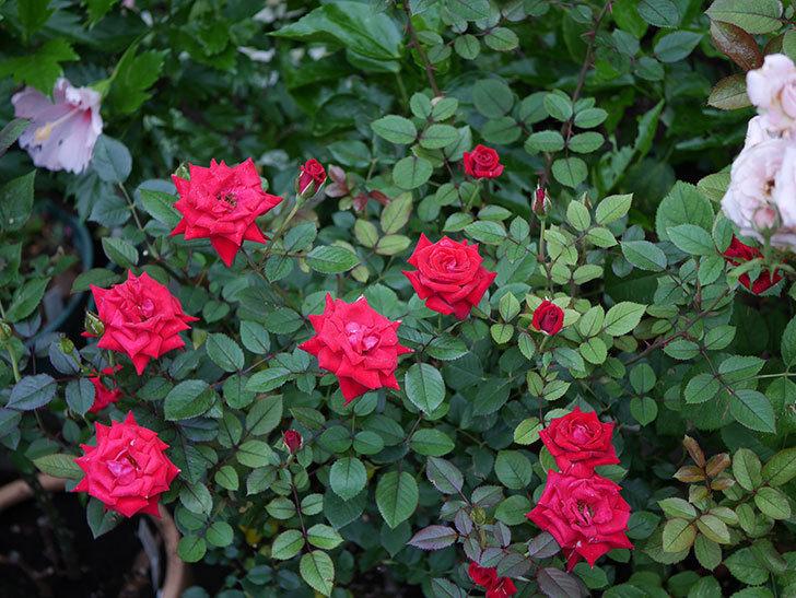 カリエンテ(Caliente)の2番花が増えてきた。ミニバラ。2020年-001.jpg