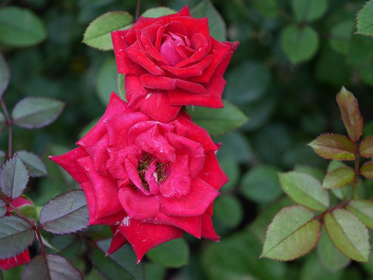 カリエンテ(Caliente)の2番花が増えてきた。ミニバラ。2020年-002.jpg